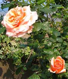 Roseporka