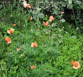 Poppy9