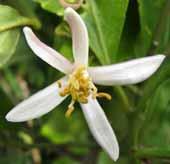 Lemonhana