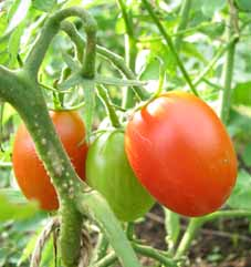 Tomatosisirian