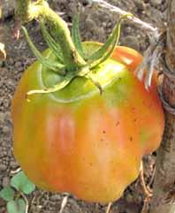 Tomatotorakarura