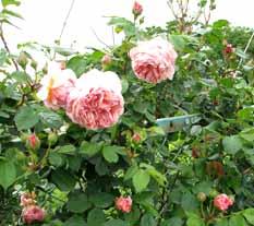 Rosewi16_2