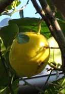 Lemon2_2