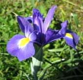 Iris5